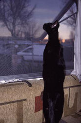 Dahni at the window of the motor home, stretched out, sniffing the world going by, photograph copyright Lorelle VanFossen