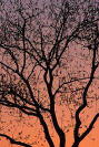 Sunset of tree branches in silhouette copyright protected, not for use, Copyright Brent VanFossen