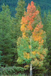 Fall colors in tree in focus, photograph copyright Lorelle VanFossen