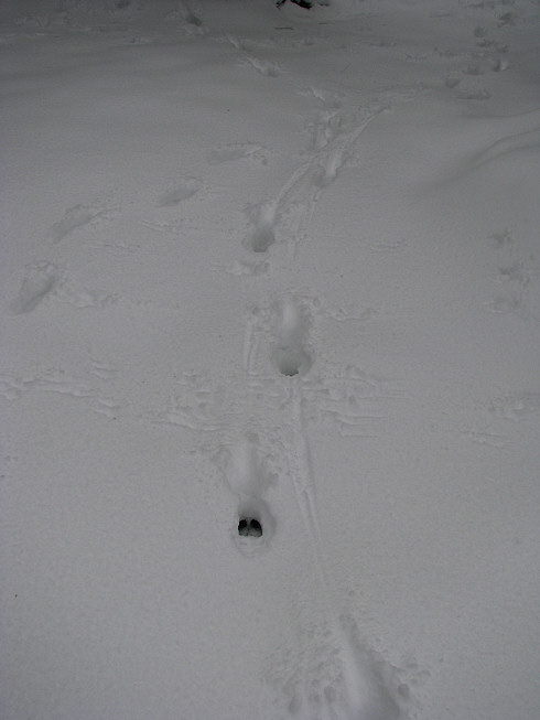 deertracks1