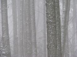 Tree trunks through snow and fog. Photography by Brent VanFossen.