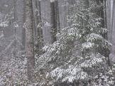 Snow in Fir Trees. Photography by Brent VanFossen.