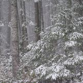 Snow in Fir Trees. Photography by Brent VanFossen.