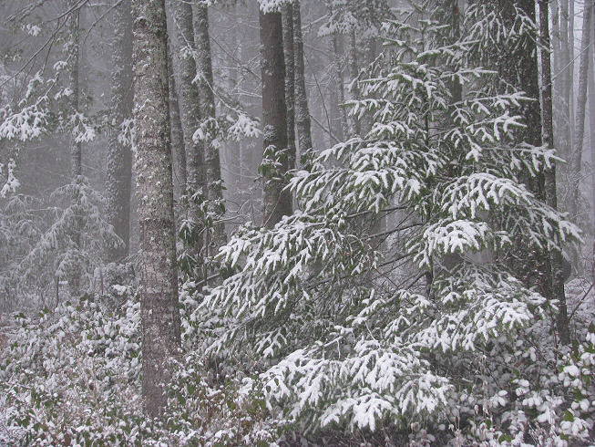 snowintreespine