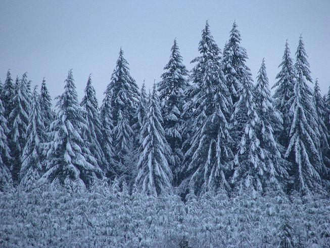 treesinsnowforest1