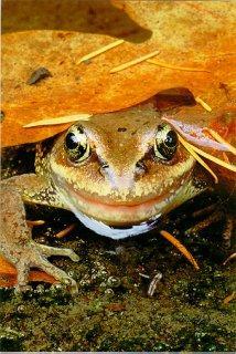 Copyright Brent VanFossen - Red-legged Frog under leaf in Olympic National Park.