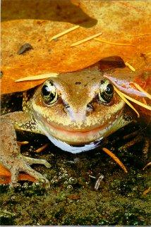 Copyright Brent VanFossen - Red-legged Frog under leaf in Olympic National Park.