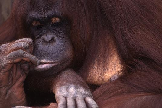 Orangutan chewing on finger, portrait, photography copyright Brent and Lorelle VAnFossen.